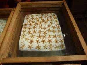 Enfleurage tray with tuberose flowers